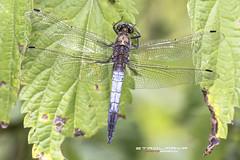 _MG_9943-Bearbeitet_web (Stadlmayr Photography) Tags: 6d macro libelle riesenlibelle canon natur 100mmkenko14 kenko 100mm