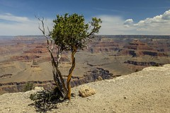 Poor lonesome tree # 6 (Isabelle Gallay) Tags: trees arizona usa tree nature america landscape landscapes fuji grandcanyon canyon fujifilm paysage arbre amrique etatsunis fujix30