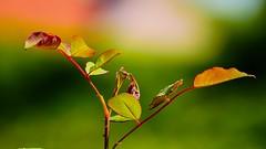 Bientt l'automne (Yasmine Hens) Tags: t summer automne autumn season saison vert green red rouge color colour couleur feuilles leaves minimalist bokeh bokehlicious light hensyasmine hens yasmine flickr namur belgium wallonie europa aaa belgi belgia europe belgien  belgique blgica   belgie  belgio    bel be