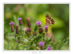 Map butterfly. (Tom Baetens) Tags: butterfly nikon belgium outdoor 70300mm d610 tombaetens