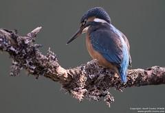 Kingfisher (Geoff Cooke: www.geoffs-trains.com) Tags: bird kingfisher nature england