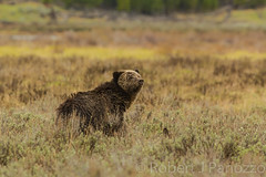 Sniffing the air (ChicagoBob46) Tags: grizz grizzly grizzlybear bear sow yellowstone yellowstonenationalpark nature wildlife ngc