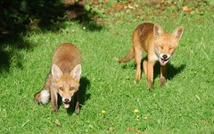 Foxes (Clare_leeloo) Tags: redfox fox faces mammals wildlife cute nature