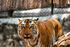 Ton amour m'a chang. (- Ali Rankouhi) Tags: india bangalore karnataka tiger zoo nature national bannerghatta park tigre