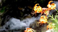 Tiger lily on the fall (coniferconifer) Tags: ravine mitarai japan tenkawa nara  summer tiger lily