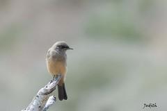 Moucherolle  ventre roux - Say's Phoebe (Judith Lessard) Tags: oiseaux birds moucherolle phoebe moucherolleventreroux saysphoebe
