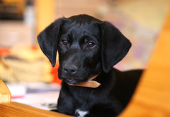 My new puppy (zsofianyu) Tags: animal photogaphy dog pup puppy young mixed breed labrador mix black cute