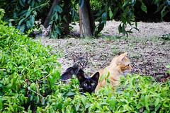 Today's Cat@2016-08-07 (masatsu) Tags: cat catspotting thebiggestgroupwithonlycats pentax mx1