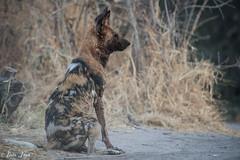 DT-161 (Photography by Brian Lauer) Tags: botswana africa safari safaris wildlife travel nikonphotography nikon lion elephant hippo fisheagle saddlebilledstork piedkingfisher lilacbreastedroller wilddog