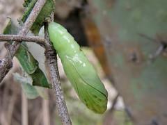 20091029_138 (carlos mancilla) Tags: insectos mariposas butterflies pupas pupae crisálidas olympussp570uz