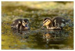 IMG_8636-Ducklings-2 (duncancooke.happydayz) Tags: ducklings ducks duck mallard water birds bird british wildlife uk naturesgreenpeace native nature distinguishedbirds birdperfect