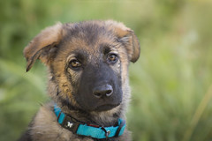 Mayka, German Shepherd (anouchkagauthier) Tags: dog puppy cute adorable look eyes brown green light blue colar nature animal mammals pet