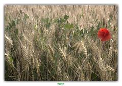 """""""ON N'EST LIBRE QU'EN ETANT SEUL..."""" (régisa) Tags: chap field blé cornfield wheat coquelicot poppy saintfolquin goldmund elitegalleryaoi bestcapturesaoi"""