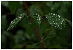 Diamonds are . . (heinrich_511) Tags: raindrops foliage rain raindrop diamond leaf green silver light bokeh pointofview depthoffield pov dof garden forest heart hl thoughts glade diamand juwel
