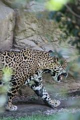 Jaguar (kylennadine) Tags: animal animals wildlife zoo zoos photography saint louis jaguar jaguars big cat cats feline felines jared