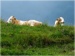 Siesta (Badenfocus_Thanks for 700k views) Tags: badenfocus kuh cow wiese alm alpen knigsalm kreuth tegernsee fujifilm fujifilmx20 x20