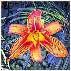 1-Lily (plismo) Tags: ontario canada peterborough liliumlily tigerlily orange flower floweringplants flowering plants liliumlancifolium