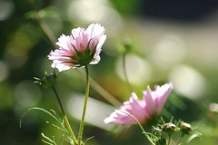 Dancing cosmos (mamietherese1) Tags: ngc world100f earthmarvels50earthfaves phvalue