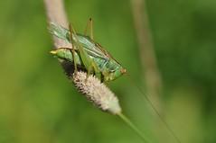 katydid (ladybugdiscovery) Tags: insect katydid green meadow wings legs