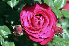 Maig_1307 (Joanbrebo) Tags: 16concursinternacionalderosesnovesdebarcelona canoneos70d efs18135mmf3556is eosd autofocus barcelona blumen blossom park parque parc parccervantes garden jard jardn flores flors flowers fleur fiori doublefantasy