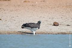 DSC_3580.JPG (manuel.schellenberg) Tags: namibia animal etosha nationalpark eagle marshalleagle