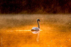 Golden Swan - The Return (lunamtra) Tags: nebel schwan see