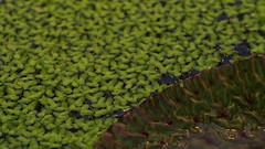 Waterlilies! (mpersson60) Tags: sverige sweden solna bergianska nckrosor waterlilies macro