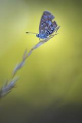 Papillon (Hexilene) Tags: nikon nikonpassion nature nikond750 insecte proxy plante passion proxi papillon blueribbon bokey butterfly sigma
