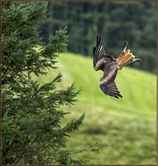 Diving Red Kite (mistagain1 Thanks for the comments and Faves) Tags: red kites redkites redkite birdofprey nikon dslr d750 d7200 september wales gb uk 2016 raptor bif birdinflight summer dayout freerangebird noncaptive wildbird