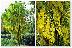 Laburnum tree-Aranyes fa (Katalin Rz) Tags: tree spring theperfectphotographer fleursetpaysages lovelymotherearth