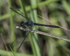 Male Seaside Dragonlet At SERC (Odonata457) Tags: county male anne smithsonian seaside unitedstates environmental maryland center research edgewater arundel erythrodiplaxberenice dragonlet