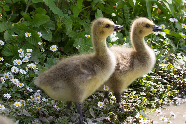 Canadan Goose Goslings at Arundel WWT