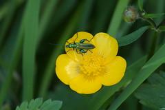 Thick-legged Flower Beetle (Oedemera nobilis), m. (bramblejungle) Tags: flower insect beetle nobilis oedemera thicklegged