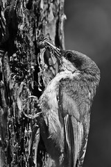Pygmy Nuthatch Nest 10 (LongInt57) Tags: family bw food baby white canada black tree bird nature monochrome grey babies bc hole nest feeding spiders okanagan wildlife small families gray insects bugs parent stump chicks kelowna caring care nuthatch snag parenting pygmy