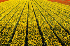 Lines (spiridono) Tags: flowers red netherlands dutch field lines yellow spring colours tulips perspective rows tulip fiels