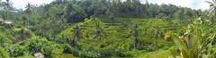Bali_Reisterrassen_Panorama (hajomu) Tags: bali reis reisfeld reisterrassen landschaft