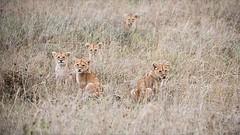 Lion Cubs in Formation (Raymond J Barlow) Tags: lion wildlife africa tanzania phototours raymondbarlow travel adventure