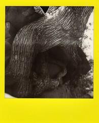 Amazing roots (EllenJo) Tags: blackandwhite bw tree polaroid arbol sx70 sedona cathedralrock oakcreek sedonaarizona instantfilm buddhabeach summerinarizona colorframe impossibleproject theimpossibleproject