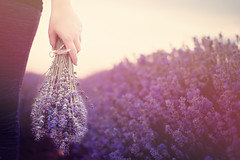 Gathering a bouquet of lavender. Girl hand holding a bouquet of fresh lavender in lavender field. Sun, sun haze, glare. Purple tinting (sevda.stancheva) Tags: flowers summer woman flower cute nature girl beautiful field garden relax person hands pretty perfume hand purple arm herbs gardening outdoor harvest violet lavender gathering fragrant bunch bouquet provence pick hazy relaxation cosmetics botany aromatic herb collect herbal hold picking scent gardener fragrance arranging aroma scented aromatherapy gather arrange lavandar