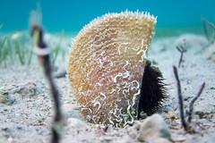 A pair (Peter Zabukovnik) Tags: sea pen fan floor mussel urchin shel noble nobilis pinna