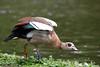 Egyptian goose (Alopochen aegyptiacus) (LauriusV) Tags: netherlands amsterdam nl noordholland familyanatidae orderanseriformes genusalopochen englishegyptiangoose speciesalopochenaegyptiacus