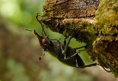 Lucane cerf-volant (Lucanus cervus), Rochecorbon, Vallée de Loire, France (Frank.Vassen) Tags: lucanuscervus lucanus lucanidae hirschkäfer lucanecerfvolant loire rochercorbon tours france coleoptera