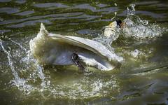 Mute Swan [Cygnus Olor] (IAN GARDNER PHOTOGRAPHY) Tags: nature wet water canal swan heat splash coventry cob westmidlands muteswan cygnusolor wildfowl autofocus coolingdown