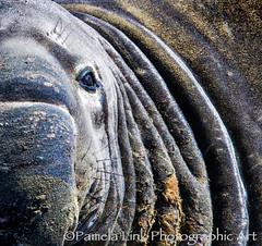 Eye on the Wrinkles (PamLink) Tags: elephantseal marinemammal wrinkles