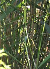 la chasse dans les roseaux (doubichlou) Tags: nature val marne ile france banlieue suburb animal awesome oiseau bird roseaux fantastic world magic group toutes merveilles through eyes