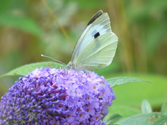 x P2530909c  Large White on Purple Buddleia . ! ! . (Erniebobble::) Tags: erniebobble 2016 nature newforest wildlifegarden wildlife butterfly wings lepidotera bct colours edge education study portrait textural shape summer suspended feeding green environment ecosystem biodiversity balance harmonious peaceful gentle restful tranquil transient fleeting metamorphosis climate endangered pollination nectar secretworld painting pattern surface art above weather ephemeral biomarkers changing chrispackham garden transition