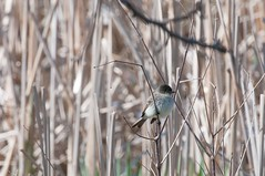 2016 Eastern Phoebe 4 (DrLensCap) Tags: park chicago bird robert nature illinois village north center il phoebe eastern kramer flycatcher