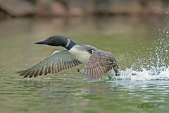 Common Loon Takeoff (CR Courson) Tags: commonloon loons birds birdphotography nikon naturephotography nature crcourson chuckcourson crcoursonimagescom birdsinflight
