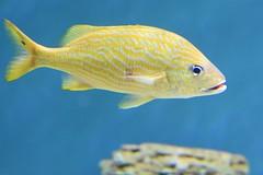 Fish at the Monterey Bay Aquarium (stevelamb007) Tags: fish montereybayaquarium california monterey aquarium stevelamb nikon d7200 nikkor18200mm nature yellow blue water