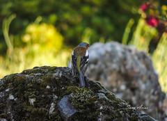 Pinzn comn (argosu) Tags: naturaleza nature birds natural ngc aves ave animales pajaro aire libre